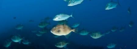 peixes-porco