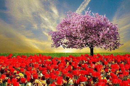 campo com tulipas e uma amendoeira em flor